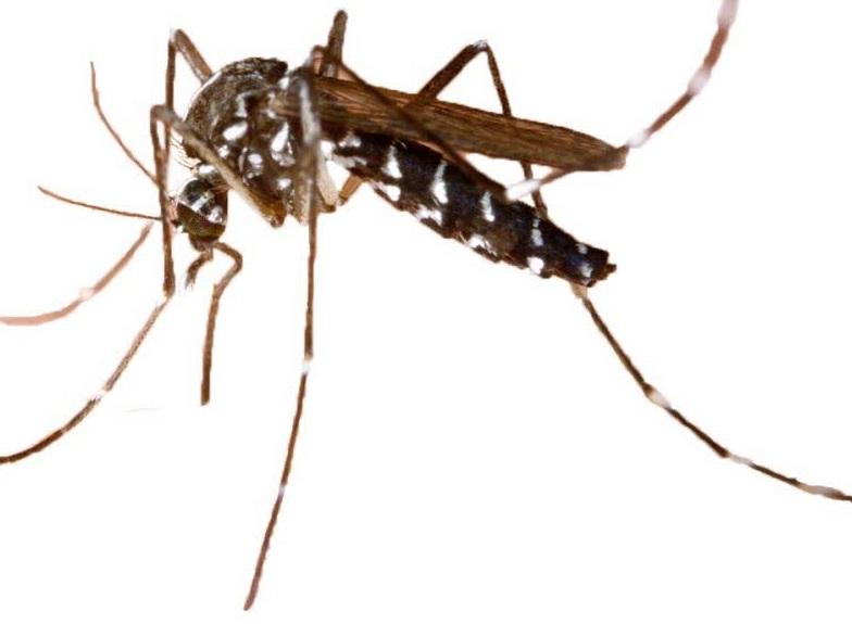le-moustique-tigre