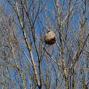 nid-frelon-asiatique